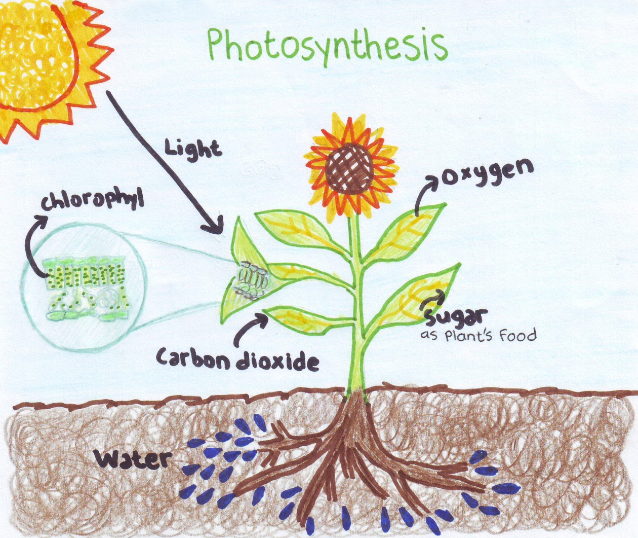 Photosynthesis, Chloroplast Learn Science at Scitable - Nature What happens to carbon dioxide during photosynthesis